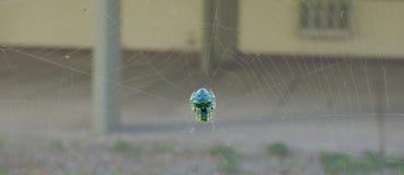 Spinne, die in der Mitte seines Netzes schläft Stockfotografie