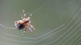 Spinne, die ein Netz macht stock footage