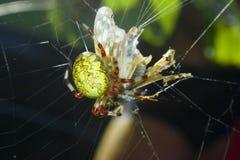 Spinne, die ein Opfer isst. Lizenzfreies Stockbild