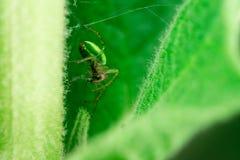 Spinne, die eine Fliege isst, lizenzfreies stockbild