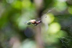 Spinne, die eine Zikade in Argentinien fängt und isst lizenzfreie stockfotografie
