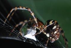 Spinne, die einen Kokon von einem gefangengenommenen Opfer spinnt Stockbild