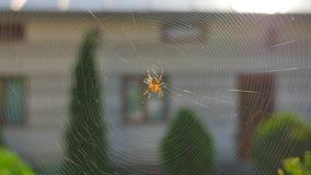 Spinne, die einen Netzabschluß bildet stock video