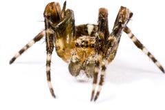 Spinne, die oben in Extremabschluß kriecht Stockfoto