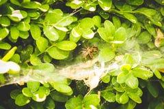 Spinne, die Opfer in seinem Netz auf einer Anlage isst Stockfotografie