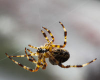 Spinne, die sein Netz spinnt. Lizenzfreie Stockfotografie