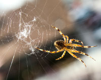 Spinne, die sein Netz spinnt. Stockbild