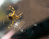 Spinne, die sein Netz spinnt. Stockfotografie