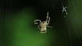 Spinne, die sein Web bildet stock video