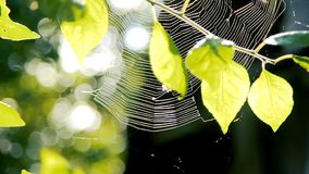 Spinne, die an seinem Netz unter Baumasten im Garten arbeitet stock video