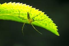 Spinne, die unter Blatt sich versteckt Lizenzfreie Stockfotos