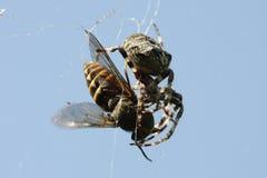 Spinne, die Viehbremse isst Lizenzfreie Stockfotos