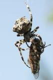 Spinne, die Viehbremse isst stockfotos