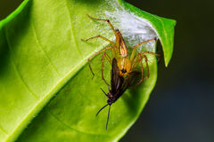 Spinne, die Wanze auf dem Blatt isst Stockbild