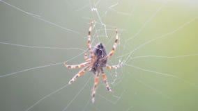 Spinne in einem Netz stock video footage