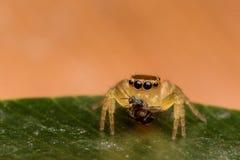 Spinne essen Biene Stockfoto