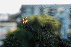 Spinne exzentrisch von seinem Netz Stockbilder