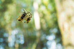 Spinne fing eine Wespe im Netz und verwirrt sie Stockfotos