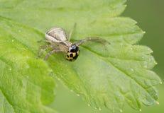 Spinne fing einen Marienkäfer Lizenzfreie Stockbilder