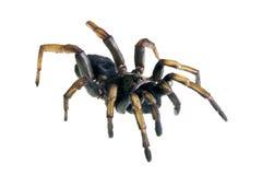 Spinne - geläufiger BrownTrapdoor, Arbanitis zart Lizenzfreies Stockfoto