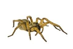 Spinne getrennt auf weißem Hintergrund lizenzfreie stockbilder
