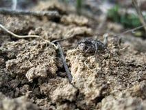 Spinne graue salticidae lizenzfreie stockfotos