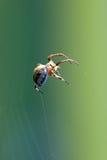 Spinne hängt in einer Luft stockfoto