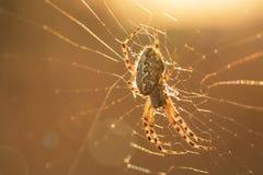 Spinne im Netz bei Sonnenaufgang lizenzfreie stockbilder
