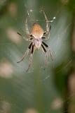 Spinne im Netz mit den gelben oberen Beinen Stockfotos