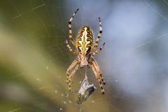 Spinne im Netz mit seinem Opfer stockfotos