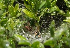 Spinne im Regen Stockbilder