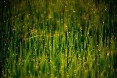 Spinne im Reisfeld lizenzfreies stockfoto