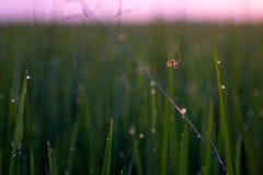 Spinne im Reisfeld stockfoto
