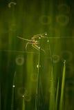 Spinne im Reisfeld stockbild