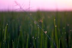 Spinne im Reisfeld lizenzfreie stockbilder