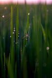 Spinne im Reisfeld stockbilder