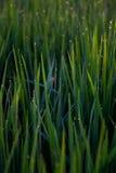 Spinne im Reisfeld Stockfotos