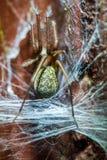 Spinne im Spinnennetz lizenzfreie stockfotografie