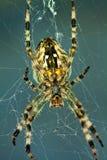 Spinne im Web Stockbild