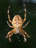 Spinne im Web Lizenzfreies Stockbild
