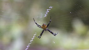 Spinne im Web stock footage