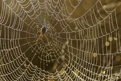 Spinne im Web mit Tau. Stockbild