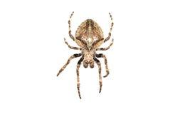 Spinne im Weiß Stockfoto