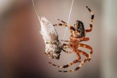 Spinne isst die aufgefangene Wanze lizenzfreie stockbilder