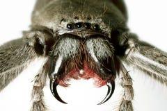 Spinne, Jäger, Holconia immanis Lizenzfreie Stockbilder