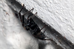 Spinne, kleines schwarzes Haus, Badumna Longinqua Lizenzfreies Stockfoto