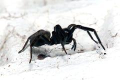 Spinne, kleines schwarzes Haus, Badumna Longinqua Lizenzfreie Stockbilder