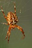Spinne-Kreuzfahrer. Stockfotografie