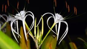 Spinne lilly Lizenzfreie Stockfotografie