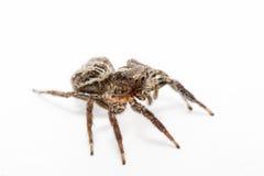 Spinne lokalisiert über Weiß Lizenzfreies Stockbild